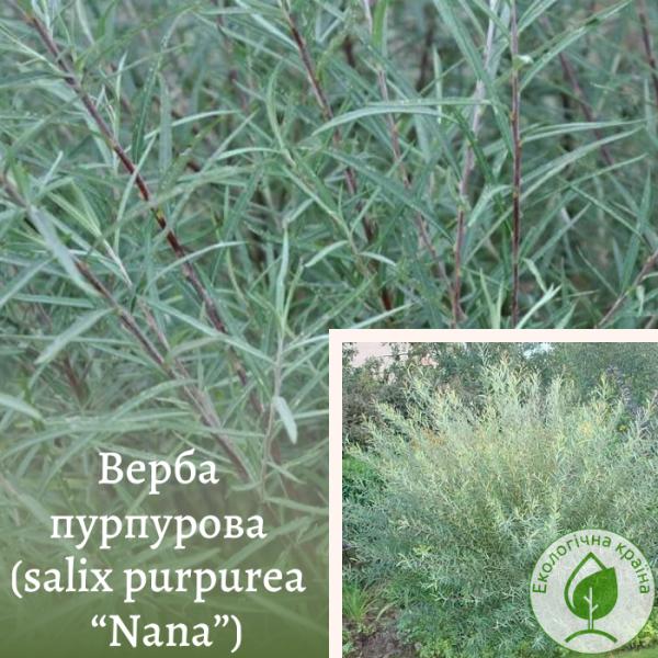 "Верба пурпурова (salix purpurea ""Nana"")"