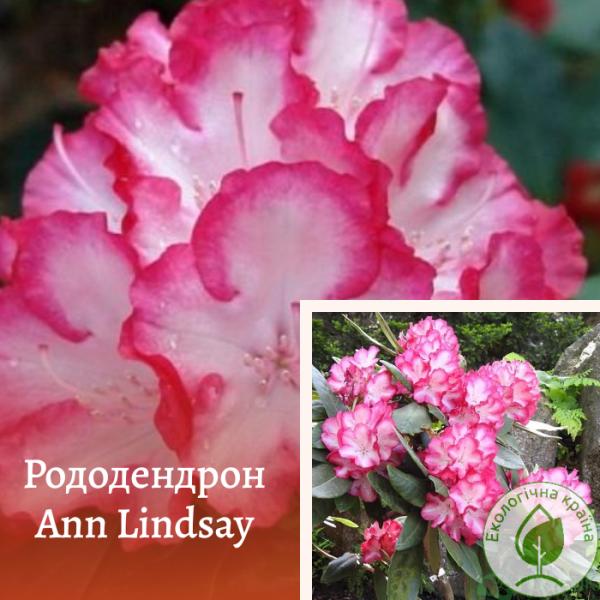 "Рододендрон ""ANN LINDSAY"" - розсадник ЕКО-КРАЇНА"