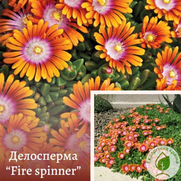 "Делосперма ""Fire spinner"" - розсадник ЕКО-КРАЇНА"