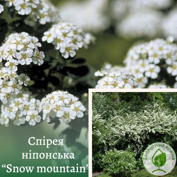"""Спірея ніпонська """"Snow mountain"""" 0,5-1 м - ЕКО-КРАЇНА"""