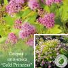 """Спірея японська """"Gold Princess"""" 0,5 м - ЕКО-КРАЇНА"""