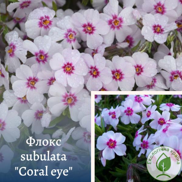 "Флокс subulata ""Coral eye"" - інтернет-магазин ЕКО-КРАЇНА"