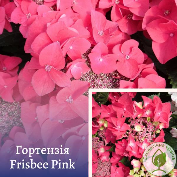 Гортензія Frisbee Pink - розсадник ЕКО-КРАЇНА
