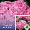 Гортензія Romance - розсадник ЕКО-КРАЇНА